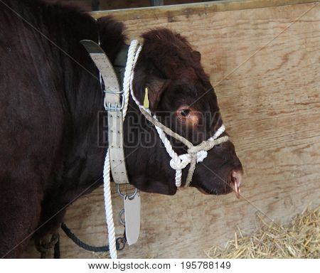 The Head of a Very Large Bull Tethered in a Barn.