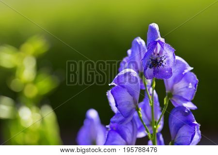 Blue flowers delphinium on a green background. Flower isolated on blur green background.