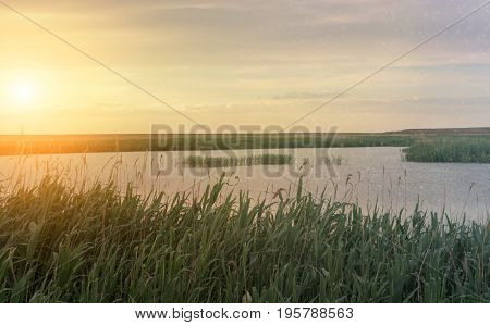 Thickets of reeds in the delta of the Volga River near Astrakhan.