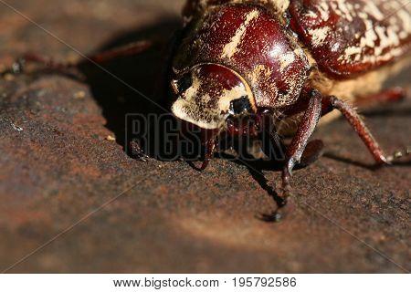 A large May beetle as a specimen of a dangerous garden fruit pest