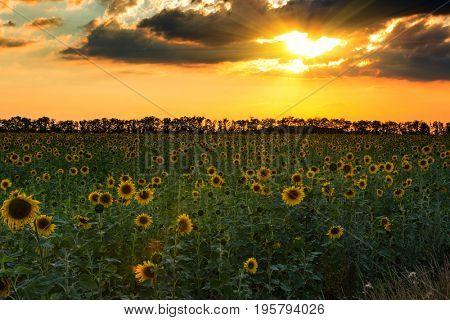 Nice sunset over sunflowers field