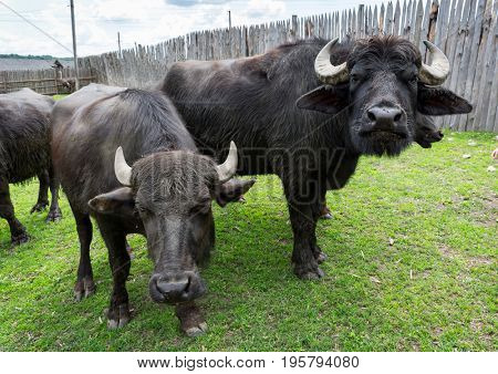 funny buffalo on farm pasture