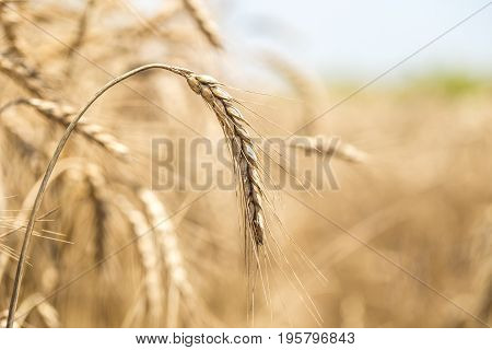 Ear Of Wheat Close-up On The Field