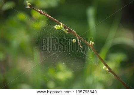 Green spider and web on a branch in the forest