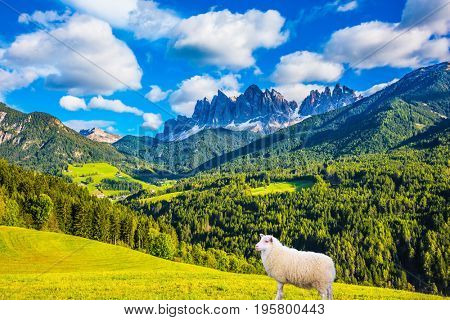 Concept of rural ecotourism Warm autumn in the Val de Funes, Dolomites. Well-fed sheep is graze on the green meadows of the mountain valley