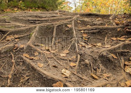 The web of tree roots on the ground and dry yellow leaves