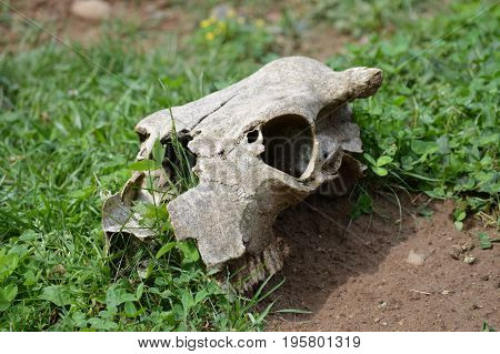 A cow skull laying in the dirt