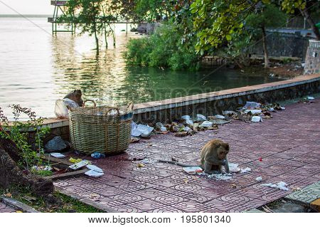 Wildlife monkey eating food from plastic bag closed to garbage truck in city
