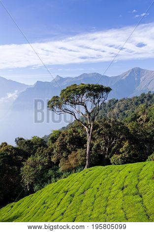 Tea plantations in Munnar Kerala South India. It is situated at around 1600 meters above sea level in the Western Ghats range of mountains.