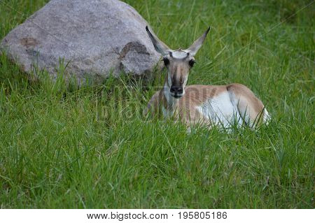 A pronghorn laying in the green grass