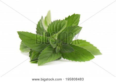 Mint leaves on a white background. Fresh peppermint isolated