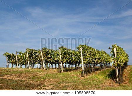 Photo several row vineyard and blue sky