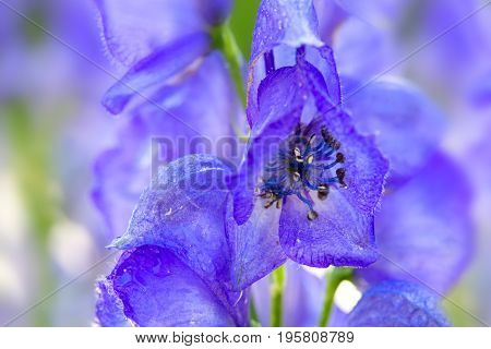 Blue flowers delphinium on a blur background. Flower isolated on blur nature background.