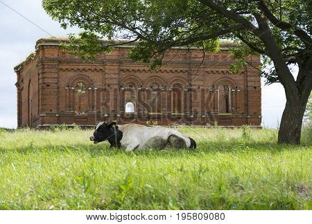 cow with the spotted skin lying on the grass in a meadow under a tree behind a ruined Church of red brick country