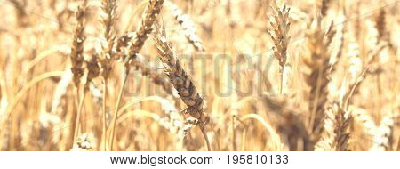 Blurred golden background with an image of wheat ears