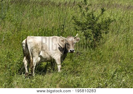 cow with beige skin grazing in the meadow the mountain hooves tail cattle