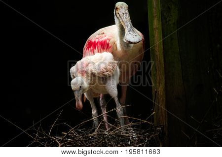 Roseate Spoonbill and chick in a nest.