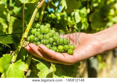 Vineyard wine grape harvest woman farming picking ripe fruits to make white wine. Closeup of hand holding bunch of green grapes on grapevine.