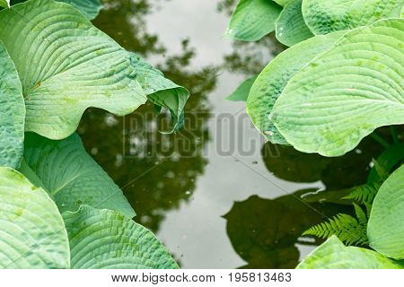 Ribbed And Glaucous Giant Leaves Of Hostas In Isabella Plantation