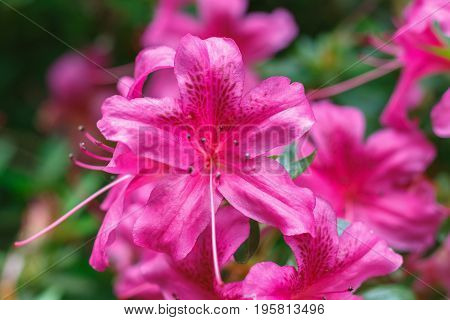 Closeup Of Rhododendron Flowers In Isabella Plantation, A Woodland Garden In Richmond Park