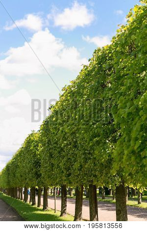 A Green Hedge Against The Blue Sky