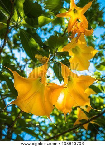 Loudspeaker Flower Have Many Colors And Have Toxic
