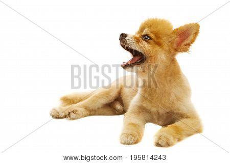 full body of pomeranian dog lying isolated white background