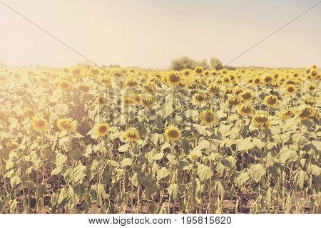 Vintage Tinted Sunflowers Photography. Sun Haze, Glare