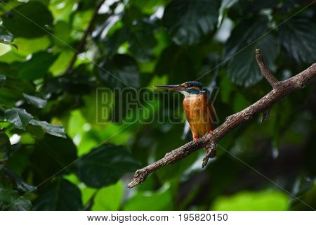 Female common kingfisher in the wild, known scientifically as Alcedo atthis