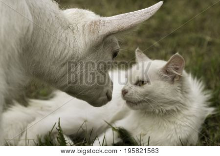 A little white goat kid gets acquainted with the cat. Funny domestic animals. Outdoors selective focus image.