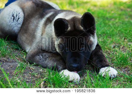 Dog breed American Akita lying on green grass