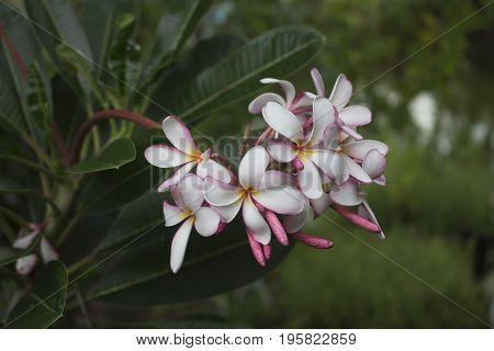 plumaria flower in the garden decorate flower spa flower for nature