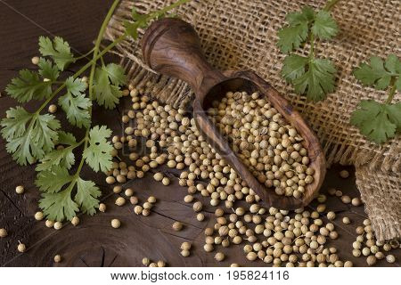 Coriander seeds and leaves on wooden background
