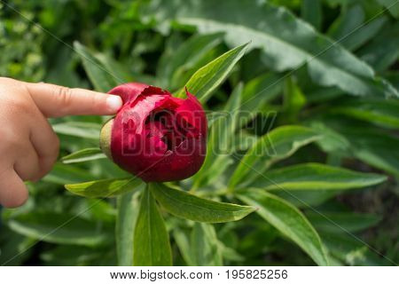 Child's hand points to a peony on green background