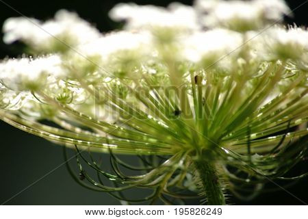 The close-up and side view of the umbel of the Pimpinella major.