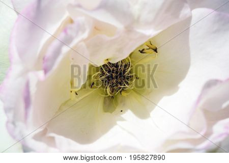 Flower dogrose petals soft sweet tones of sweet style. Background for decoration close-up concept