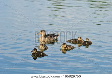 Mallard  - bird of the duck family (Anatidae) detachment of waterfowl. Mallard female and ducklings.