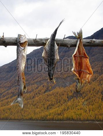 Taimyr. Northern fish. So fish languish in the indigenous peoples of the north.