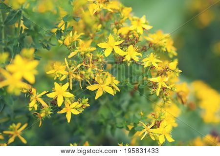 The tutsan plant with yellow flovers on a field