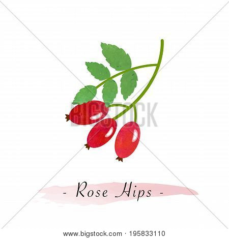 Colorful Watercolor Texture Vector Healthy Vegetable Rose Hips