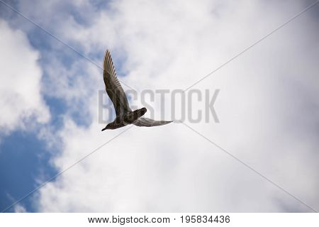 Background mew bird white clouds blue sky poster