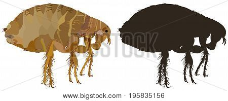 Vector image of an insect-parasit-flea close-up on a white background and its silhouette. Side view.