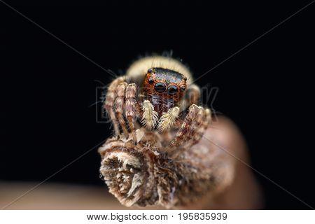 Super macro female Carrhotus Sannio or Jumping spider on stem