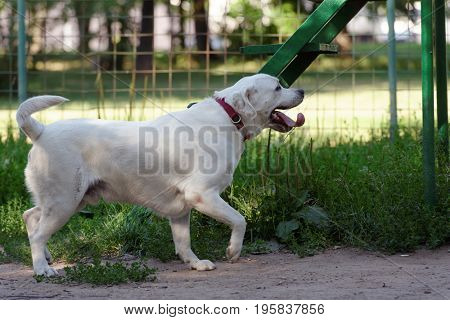 Young tired Labrador Retriever on a dog playground