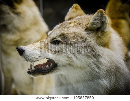 Angry Wolf showing his teeth