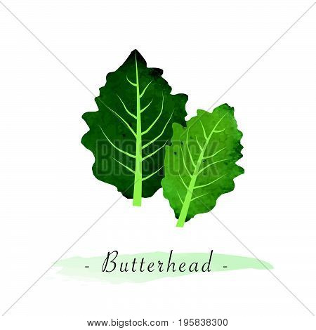 Colorful Watercolor Texture Vector Healthy Vegetable Butterhead