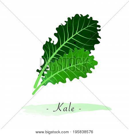 Colorful Watercolor Texture Vector Healthy Vegetable Kale