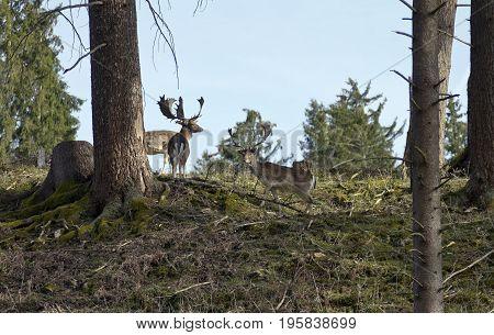 The Fallow deers in Tierpark Schloss Rosegg
