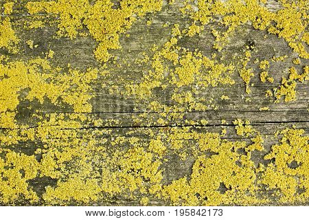 old wood top cover lichen organic texture or background