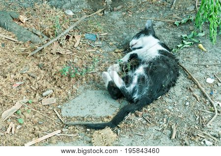 Body of dead kitten on the ground killed by car run over.